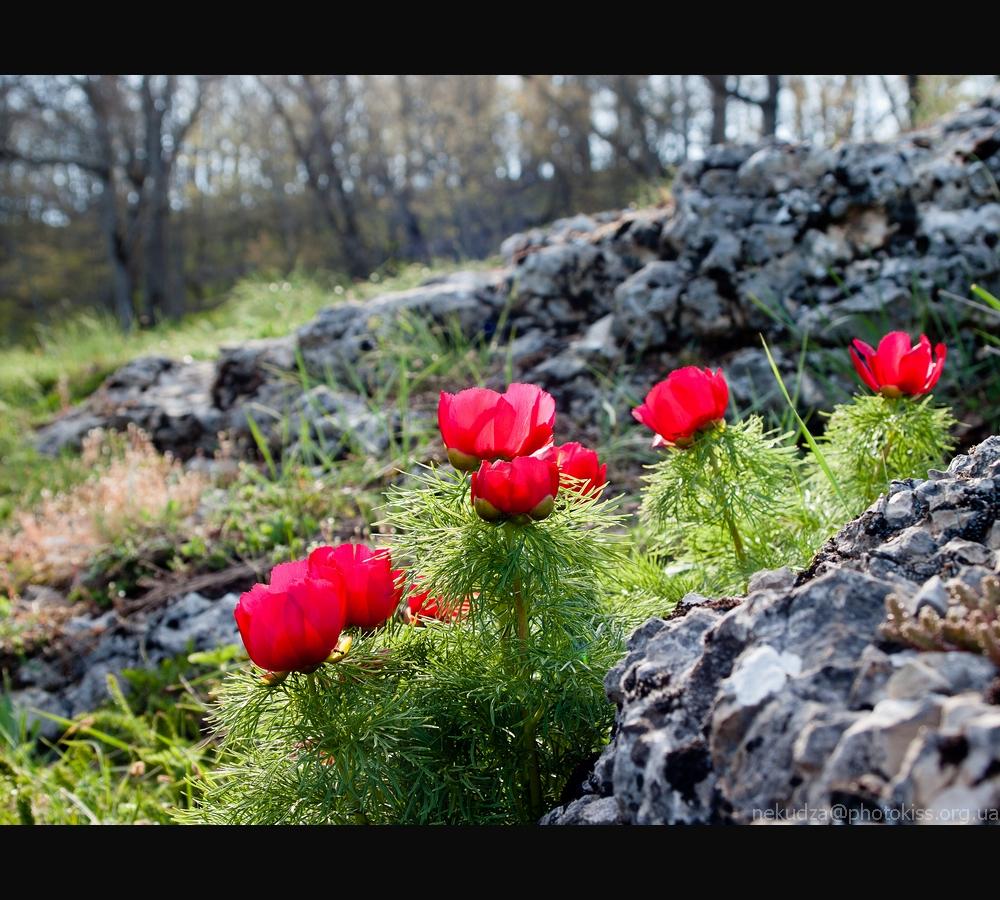 Фотографии Крыма: пионы на склоне яйлы Орта-Сырт