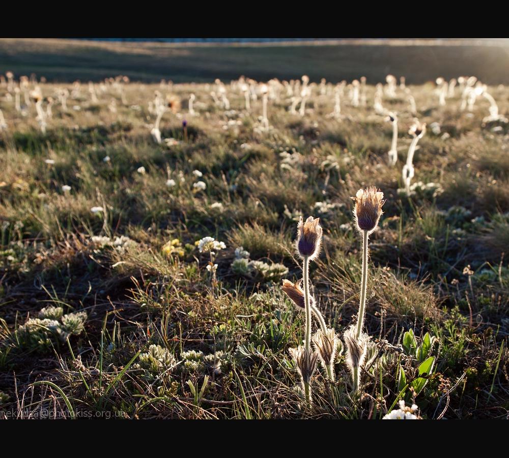 Фотографии Крыма: сон-трава на закате